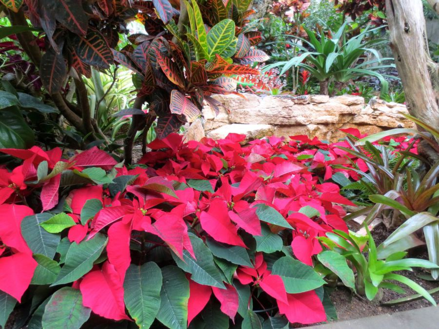 poinsettias_conservatory